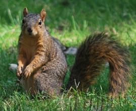 Fox_squirrel